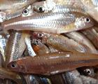 银鱼清洗去杂机海鲜鱼类清洗设备