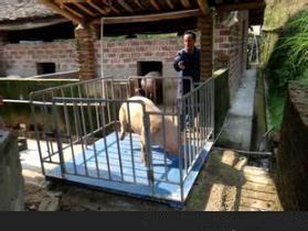 带护栏称猪称,带围栏称牛电子秤